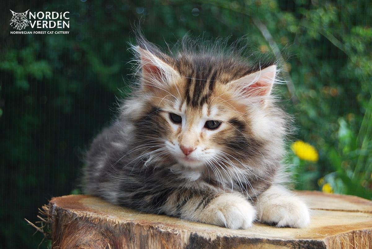 HU*Nordic Verden Sonoran - norvég erdei macska
