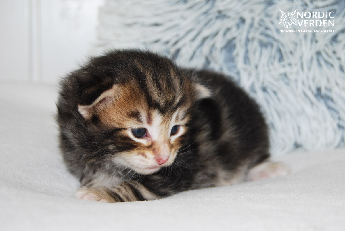 HU*Nordic Verden Steve Rogers - norvég erdei macska