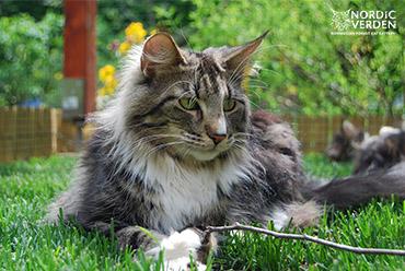 Rosita - norvég erdei macska