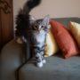 Spes - norvég erdei macska kölyök