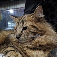 PT*FROZEN LANDS WINTER'S WALTZ (VIVA) - norvég erdei macska