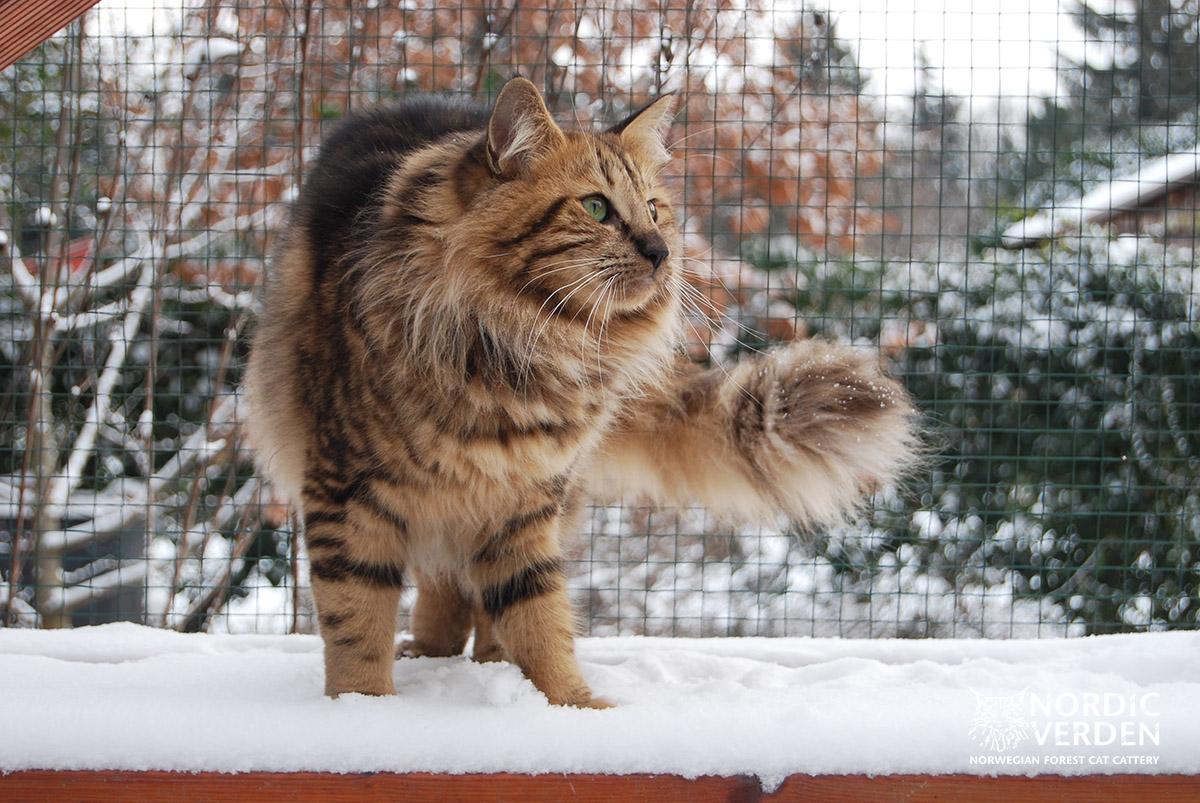 Viva - norvég erdei macska